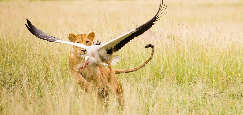 La 2 muestra las conductas de los leones ante la ausencia de humanos